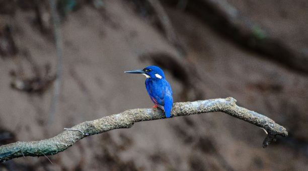 Azure Kingfisher on a River Wilderness Cruise